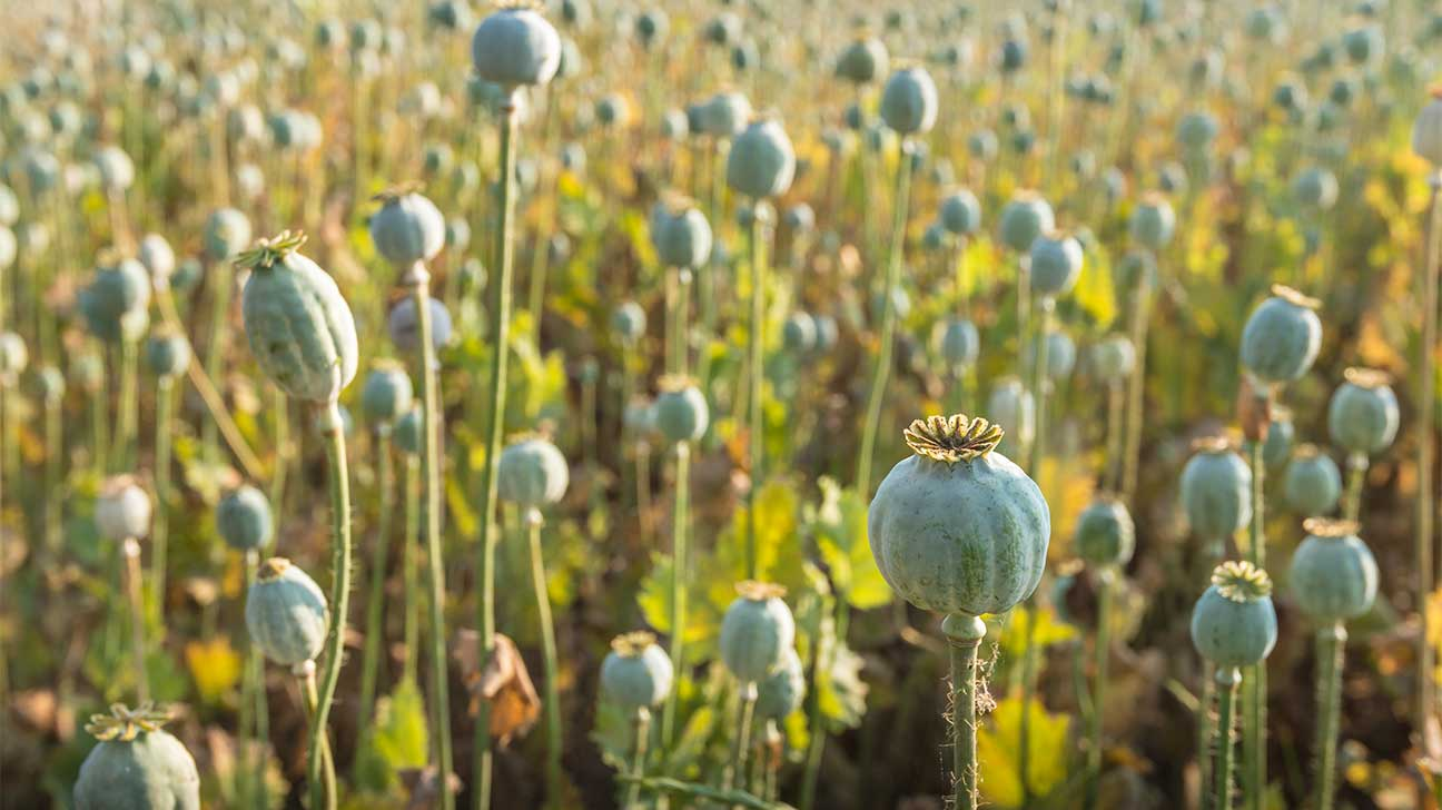 What Plant Does Heroin Come From?